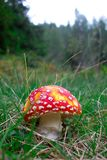 Poisonous mushroom Amanita phalloides in the meadow Stock Image