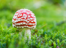Poisonous mushroom Royalty Free Stock Photography