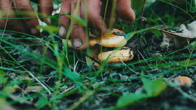 Poisonous mushroom cut with knife at the root in the forest, close up view stock video footage