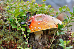 Poisonous mushroom a fly Stock Photography