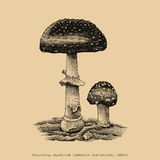 Poisonous mushroom hand drawing engraving illustration. Clip art isolated on old background Royalty Free Stock Photos