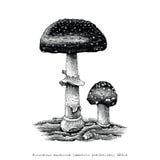 Poisonous mushroom hand drawing engraving illustration. Clip art isolated on white background Stock Image