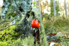A poisonous mushroom with a red hat. In autumn forest Stock Image