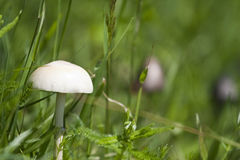 A poisonous mushroom. Sulphur Tuft, a poisonous mushroom Stock Photos