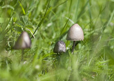 A poisonous mushroom. Sulphur Tuft, a poisonous mushroom Royalty Free Stock Photo