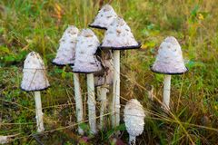 Poisonous mushroom of toadstool in the forest views close. Inedible toxic fungus is hazardous to health. Seasonal mushroom and danger stock image
