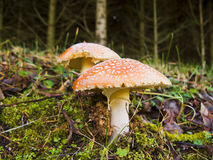 Poisonous mushrooms Royalty Free Stock Photography