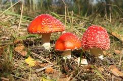 Poisonous mushrooms Stock Photos