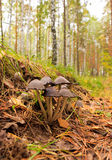 Poisonous mushrooms. Stock Image