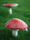Poisonous mushrooms Stock Photo