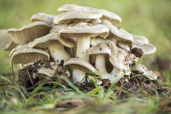 Poisonous mushrooms Stock Photography