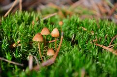 Poisonous mushrooms conocybe Royalty Free Stock Image