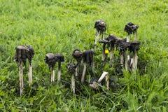 Poisonous mushrooms, coprinus atramentarius Stock Image