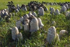 Poisonous mushrooms, coprinus atramentarius Stock Photography