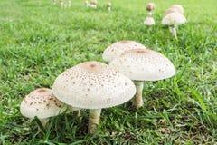 Poisonous mushrooms. Stock Image