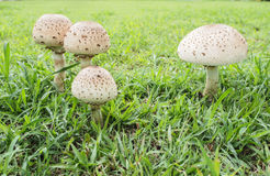 Poisonous mushrooms. Stock Images