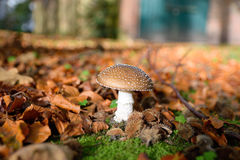 Poisonous mushrooms in the forest Stock Photos