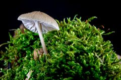 Poisonous mushrooms growing in moss on a tree trunk. Small mushrooms with gills on the background of moss in the forest. Season of royalty free stock photo