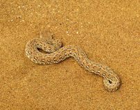 Poisonous Peringuey's adder or sidewinding adder snake (Bitis peringueyi) on orange namibian sand of Namib desert in Namibia Stock Images
