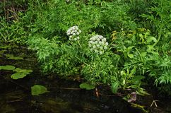 Free Poisonous Plant Cicuta Growing Near Coast Of A Forest River. Royalty Free Stock Images - 161493379