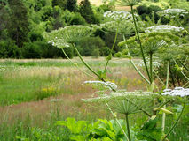 Poisonous plant flowering cow parsnip. Royalty Free Stock Photos