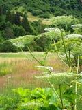 Poisonous plant flowering cow parsnip Stock Photos