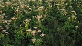 Poisonous plants Heracleum in field. It is dangerous, perennial, fast-spreading plant. Known as Cow Parsnip, Giant Hogweed