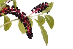 With poisonous pokeweed berries isolated Royalty Free Stock Images