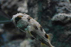 Poisonous puffer fish fugu in an aquarium Gdynia, Poland Stock Photography