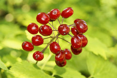 Poisonous red berries. Beautiful but dangerous: bright vivid poisonous red baneberries Royalty Free Stock Photography