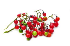 Poisonous red berries Royalty Free Stock Photos