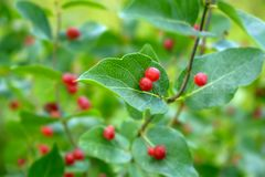 Poisonous red berries on a tree branch among green leaves royalty free stock photography