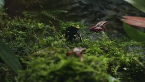 Poisonous red and black dart frogs