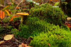 Poisonous red mushroom on green moss royalty free stock image