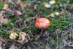 Poisonous red toadstool. In the forest royalty free stock photo