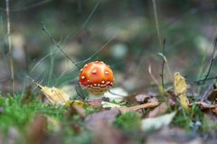 Poisonous red toadstool. In the forest royalty free stock images
