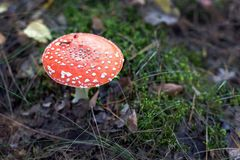 Poisonous red toadstool. In the forest royalty free stock image