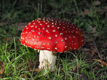 Poisonous red and white mushroom Royalty Free Stock Photos