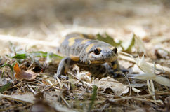 Poisonous salamandra Royalty Free Stock Image