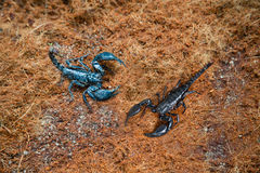 Poisonous scorpions in the land Stock Image