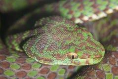 Poisonous snake closeup Royalty Free Stock Photo