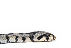 A poisonous snake`s head. Stock Photo