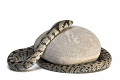 Poisonous snake on a stone. Stock Image