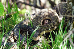 Poisonous snake. Venomous snake lurking in the grass Royalty Free Stock Photos
