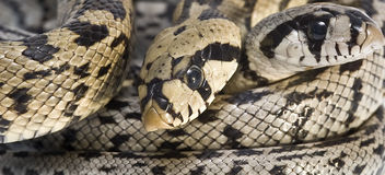 Poisonous snakes. Royalty Free Stock Image