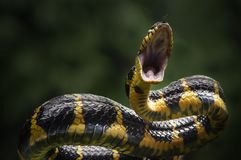 Snakes attack the prey. Poisonous snakes attack the prey royalty free stock photos