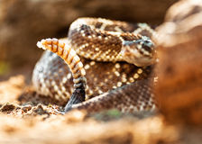 Poisonous South American Rattlesnake Royalty Free Stock Photography