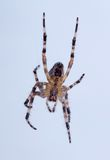 Poisonous spider Stock Photography
