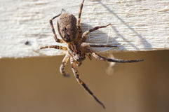Poisonous spider Stock Images