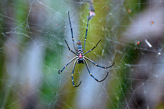 Poisonous Spider - Bali Royalty Free Stock Image